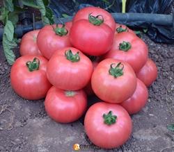 Семена томата Демироса F1 500 шт - фото 4060