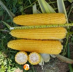 Семена кукурузы Добрыня F1 2500 шт - фото 6871