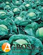 Семена капусты Атрия F1 2500 шт