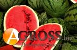 Семена арбуза Антем F1 100 гр (около 3000 шт)