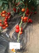 Семена томата Аламина F1 (73-672)