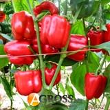 Семена перца Ред Джет F1  100 шт