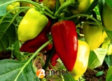 Семена перца Цинтия F1 1000 шт