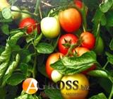 семена томата Санька (весовой от 1 г)
