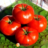 Семена томата Уманья (73-602) RZ F1 100 шт