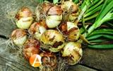 Семена лука озимого Ибис F1 100000 шт