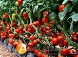 Семена томата Джадело F1  500 шт