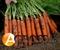 Семена моркови Наполи F1 калибр. 1,8-2,0 (25 000 шт.)  - фото 3723