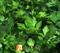 Семена петрушки Гигант де Италия 500 г (SEMO) - фото 3906