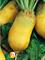 Семена кормовой свеклы Эккендорфская желтая (1 кг) - фото 8234